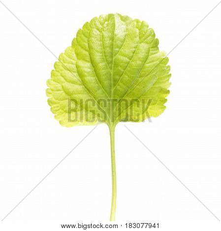 Green leaf of Wood violet (Viola odorata) isolated on white background