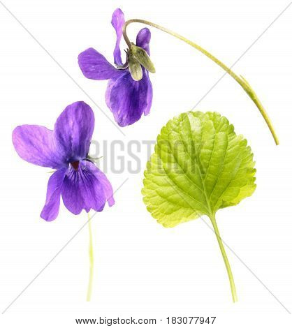 Green leaf and flowers of Wood violet (Viola odorata) isolated on white background. Medicinal and garden plant