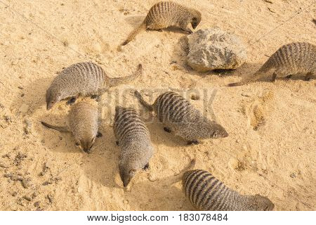 Banded mongoose family digging in the sand, Mungos mungo
