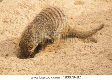 Banded mongoose digging in the sand Mungos mungo