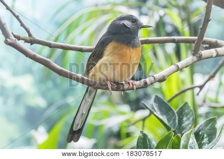 White-Rumped Shama in a branch, staring,  Turdidae