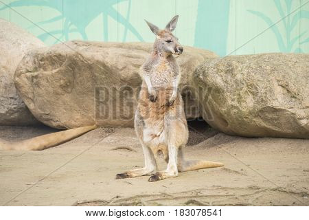 Red Kangaroo Macropus Rufus, staying stand and quite
