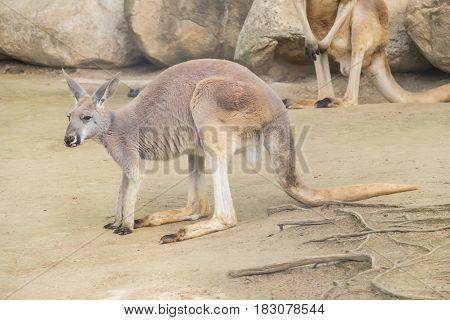 Red Kangaroo staying quite and calm,  Macropus Rufus