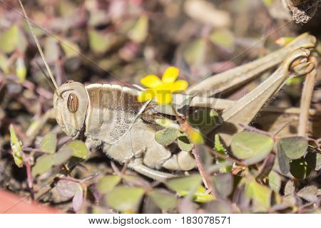 Acanthacris ruficornis grasshopper in the grass  staying quite