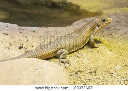 Rough-scaled plated lizard on the sand Staring at something