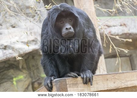 Black howler monkey watching something very carefully