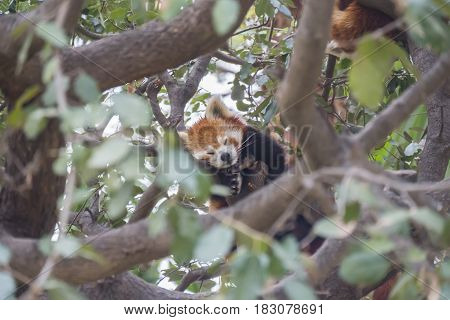 Red panda sleeping on the branches of a tree Ailurus fulgens