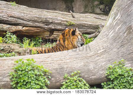 Tiger sleeping between two trunks Panthera tigris