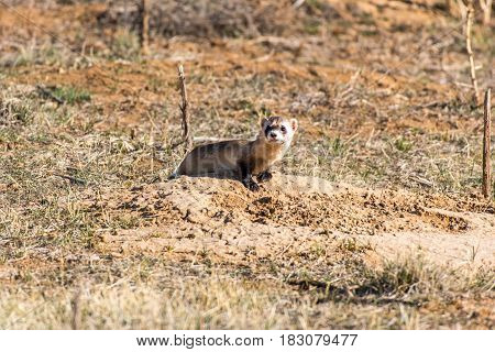 A Black-footed Ferret as it scouts out the Field