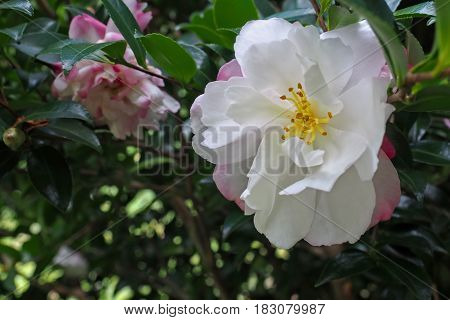 Bright white Camellia flowers with pink and red edging on the tree surrounded by deep green leaves.