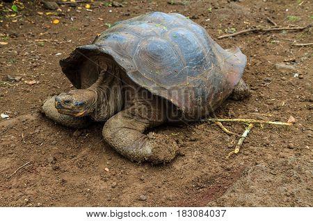 Galapagos land turtle walking on brown rubble