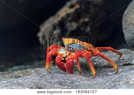 Galapagos red crab on black volcanic rocks