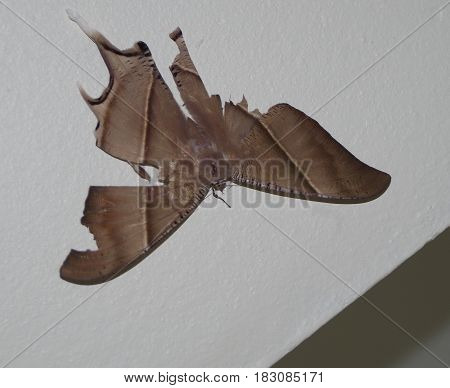 Large brown moth with tattered wings resting on a wall.