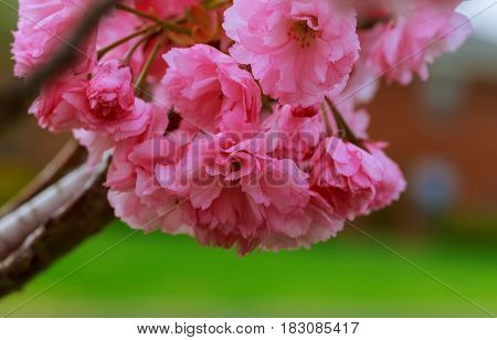 Sakura. Cherry blossoms japan. Pink spring blossom background