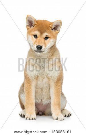 Beautiful brown japanese shiba inu puppy dog sitting. Isolated on white. Copy space.