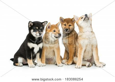 Four beautiful brown and black japanese shiba inu puppy dogs isolated on white background. Copy space.