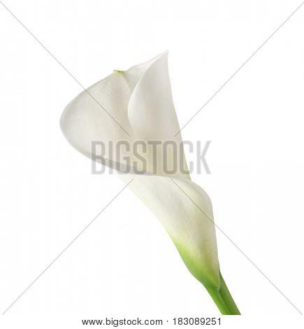 Beautiful calla lily on white background