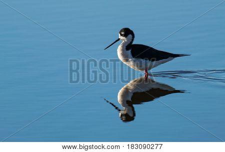A Black-necked Stilt Enjoying the Sunshine in the Water
