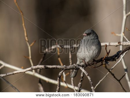 A Dark-eyed Junco Perched on a Branch Enjoying the Sun