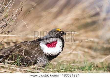 A Male Dusky Grouse in Courtship Display