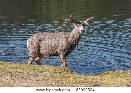 A Young Mule Deer Enjoying a Wade in the Lake