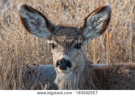 An Alert Young Mule Deer Observes Its Surroundings