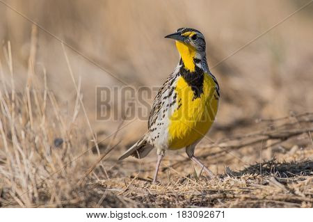 A Western Meadowlark Poses in the Sunshine