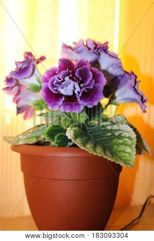 Beautiful violet room gloxinia in a pot