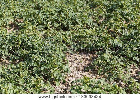 Potato plants on a field in spring.