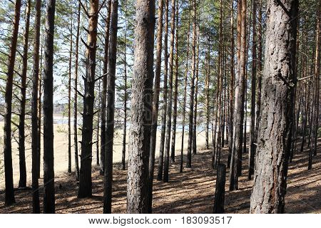Pine forest on the hill by the river