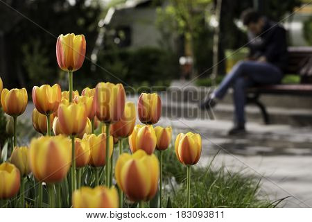 Blurred figure on park bench working with mobile phone spring time tulips covered front part of the frame.