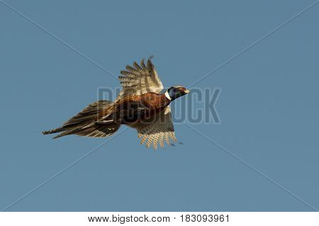 A rooster Pheasant in flight in North Dakota