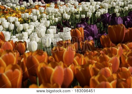 Flowerbed with orange white and purple tulips at outdoor park.