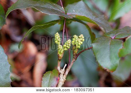 Young blossoms of an Oregon grape bush (Mahonia aquifolium)