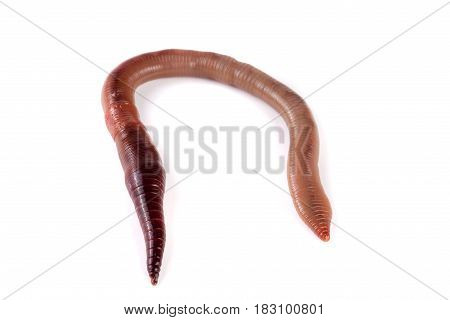 one earthworms isolated on white background close-up.