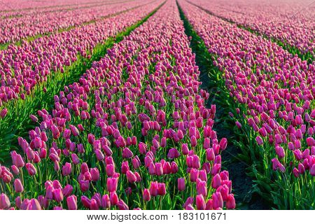 Dark pink colored tulips in long converging tulip beds at a specialized bollwerker in the Netherlands. It is early in the morning of a sunny day in the beginning of the spring season.