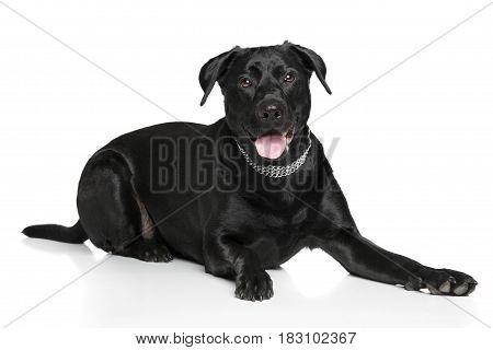 Labrador Dog Lying