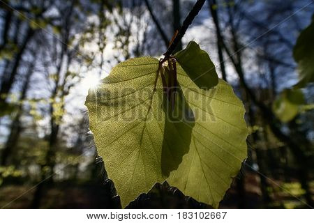 New fresh beech leaves from a Danish spring forest.