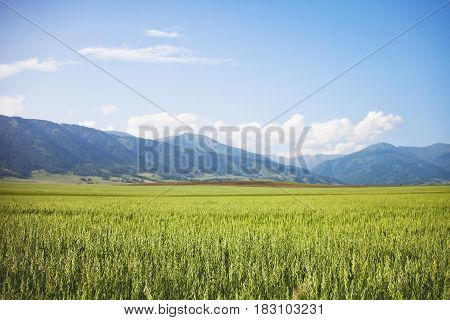 Field With Oats. Altai. Summer Landscape