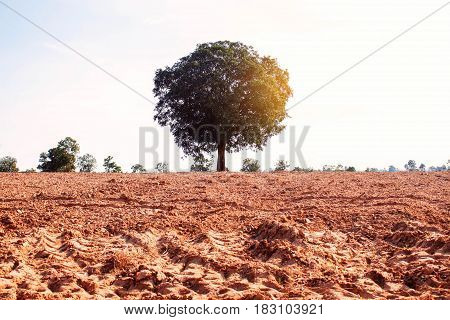 Mango tree on the ground in field with summer sunshine.