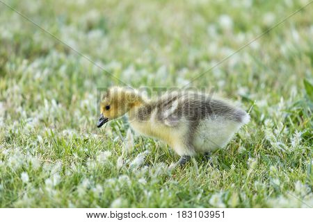 Canada Gosling (Branta Canadensis) Eating Grass. Santa Clara County, California, USA.