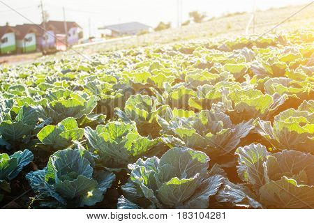 Planted cabbage in the mountains with morning sun.