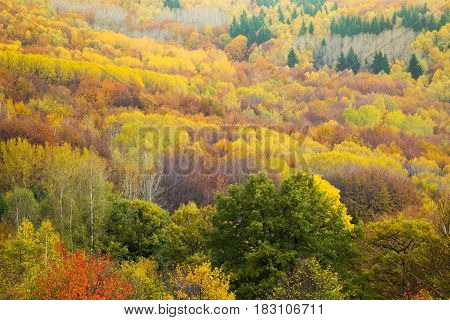 Aerial view of a colorful deciduous and coniferous forest in autumn with multicolored yellow orange and green foliage on the trees in a scenic full frame view of the changing seasons