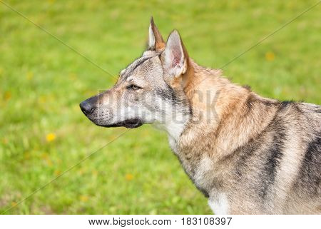 Cute Wolf Dog In The Park