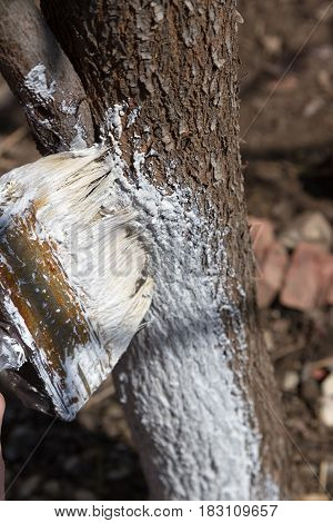 Whitewash Of The Tree Trunk With A Brush
