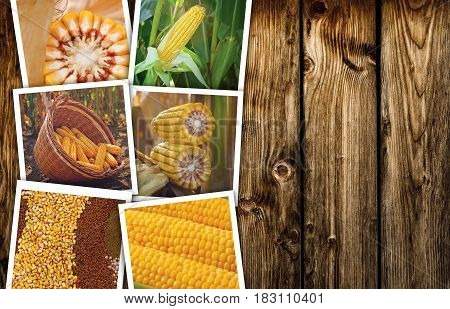 Corn maize in agriculture photo collage with copy space