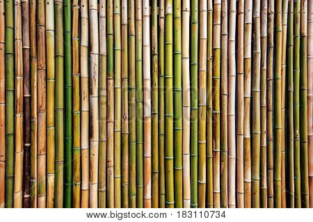 Dry bamboo tree fence wall background original natural pattern texture