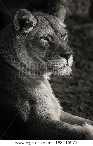 Black and white portrait female lion. Beautiful lioness.