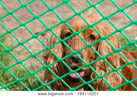 Spaniel Through The Net Of Rabitsa