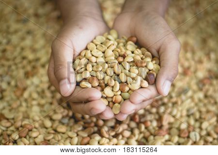 Close up ,Coffee beans before shelling with mill